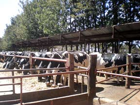 Cows on Baraka Farm, Kenya