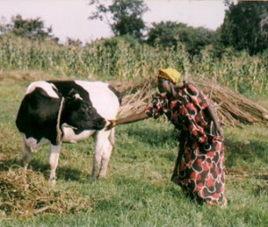 woman-and-heifer