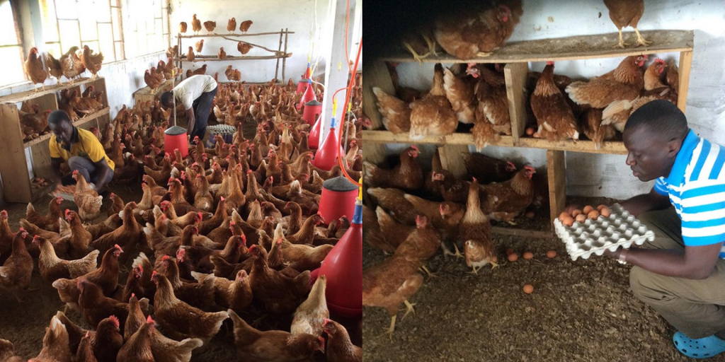 Poultry Farm in Sierra Leone Provides Chicken Meat to Thousands